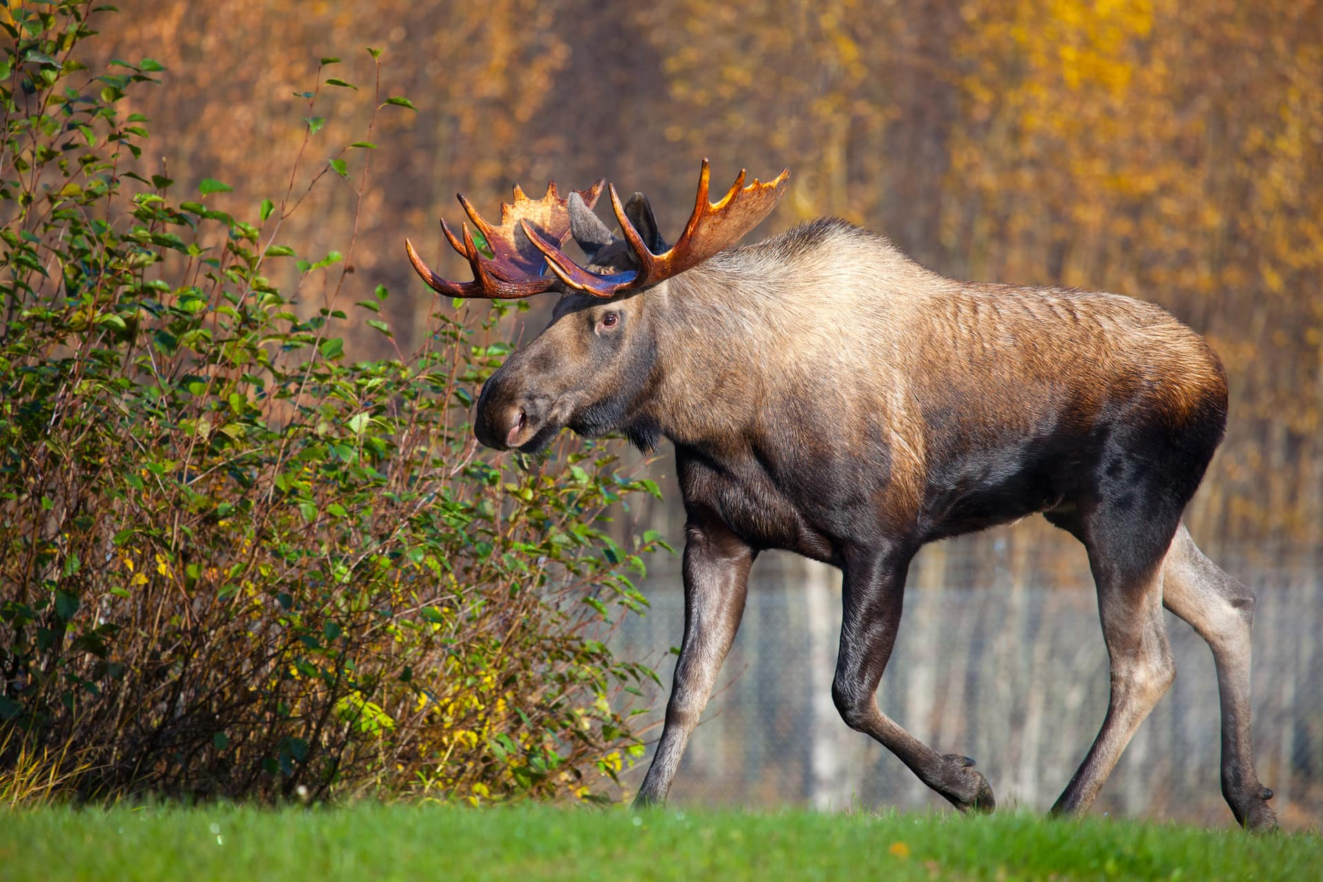 Moose Bull Walking, Male, Alaska, Usa